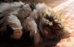 Nice tabby fluffy cat sleeping on the carpet indoors Stock Photo