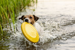 Nice terrier dog playing with yellow toy in water. Jack Russell Terrier running with frisbee Royalty Free Stock Photo