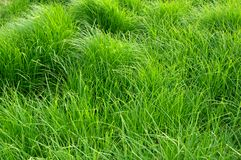 Nice texture and pattern of summer green grass Stock Photo