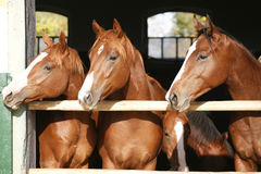 Nice thoroughbred fillies standing at the stable door. Purebred anglo-arabian chestnut horses standing at the barn door royalty free stock photo