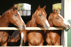 Nice thoroughbred fillies standing at the stable door Stock Images