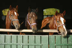 Nice thoroughbred foals looking over the stable door Royalty Free Stock Image
