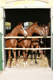 Nice thoroughbred foals in the stable Royalty Free Stock Photos