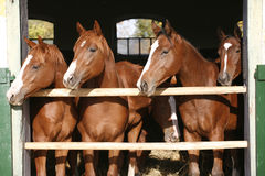 Nice thoroughbred foals in the stable Stock Image