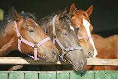 Nice thoroughbred foals in the stable door Stock Photography