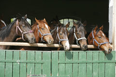 Nice thoroughbred foals in stable. Royalty Free Stock Image