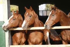 Nice thoroughbred foals in the stable Royalty Free Stock Photo