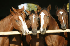 Nice thoroughbred foals in the stable Stock Photo