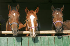 Nice thoroughbred horses in the stable Nice thoroughbred horses in the stable. Beautiful thoroughbred bay horses standing in the barn door Stock Photography