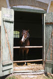 Nice thoroughbred youngster at stable door Royalty Free Stock Photos