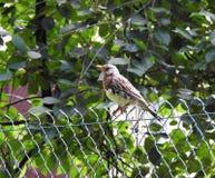 Nice thrush bird on metallic fence, Lithuania Stock Photography