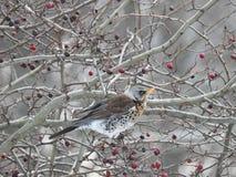 Beautiful thrush bird on tree branch, Lithuania Royalty Free Stock Photos