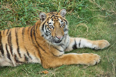 Nice tiger in a park of Guilin Stock Photography