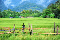 Nice time at bamboo bridge across paddy field Stock Photography