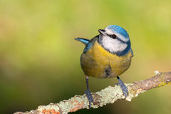 Nice tit with blue head looking up Royalty Free Stock Image