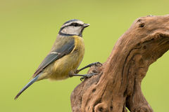 Nice tit with blue head Stock Photo