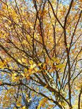Beautiful colors autumn tree, Lithuania Royalty Free Stock Photo