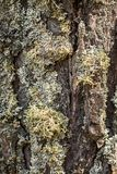 Nice tree bark with moss and lichen texture Royalty Free Stock Images
