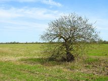 Little tree in spring field, Lithuania Stock Image