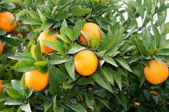 Nice tree with many oranges, Royalty Free Stock Photography