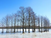 Beautiful trees in spring flood field, Lithuania Royalty Free Stock Image