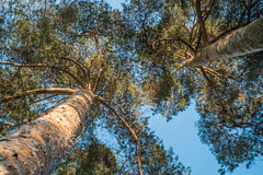 Nice trees with the sky  on a sunny day Royalty Free Stock Photo
