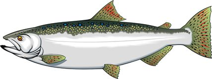 Nice trout Royalty Free Stock Photo