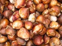 Free Nice Tulip Bulbs Background Royalty Free Stock Photo - 26221925