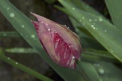 Nice tulip Stock Photography