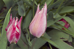 Nice tulip Royalty Free Stock Images