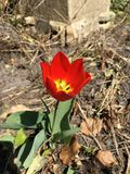 Nice tulip in a dead garden. Royalty Free Stock Images