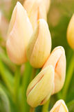 Nice tulips Royalty Free Stock Photography