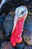 Nice turkey Royalty Free Stock Photos