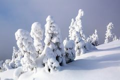 Nice twisted trees covered with thick snow layer in beautiful winter day. Unbelievable scene with snow covered forests stock photos