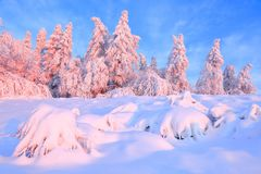 Nice twisted trees covered with thick snow layer enlighten rose colored sunset in beautiful winter day. royalty free stock images
