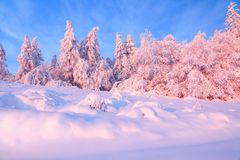 Nice twisted trees covered with thick snow layer enlighten rose colored sunset in beautiful winter day. Unbelievable scene with snow covered forests stock photo