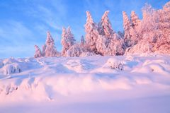 Nice twisted trees covered with thick snow layer enlighten rose colored sunset in beautiful winter day. stock images