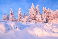 Nice twisted trees covered with thick snow layer enlighten rose colored sunset in beautiful winter day. royalty free stock photo