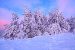Nice twisted trees covered with thick snow layer enlighten rose colored sunset in beautiful winter day. royalty free stock photos