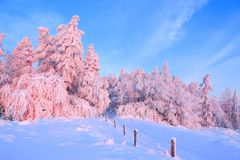 Nice twisted trees covered with thick snow layer enlighten rose colored sunset in beautiful winter day. stock photo