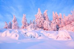 Nice twisted trees covered with thick snow layer enlighten rose colored sunset in beautiful winter day. royalty free stock image