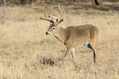 Nice typical whitetail buck Royalty Free Stock Image