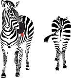 Nice view!. A zebra looking at the buttock of another zebra Stock Photo