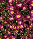 Purple White Yellow Mums Stock Photo