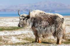 Free Nice View Of Yak In Tajikistan Royalty Free Stock Photography - 145409857