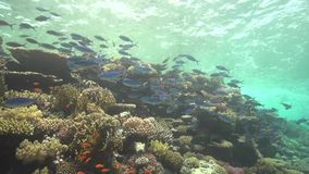 Nice view with suez fusilier caesio suevica shallow water. North Red sea diving safari stock video footage