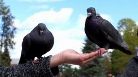 Two doves sit on a hand of a woman with grain in slo-mo. A nice view of two grey doves who sit on a hand of a woman with grain on a sunny day in early autumn in stock video footage