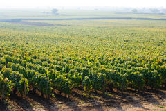 Nice view on vineyard in foggy morning Stock Image