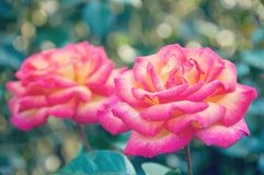 Nice Vintage rose background on summer Royalty Free Stock Image