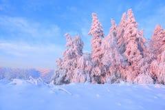 Nice vred träd som täcktes med det tjocka snölagret, klargör rosa kulör solnedgång i härlig vinterdag arkivfoton
